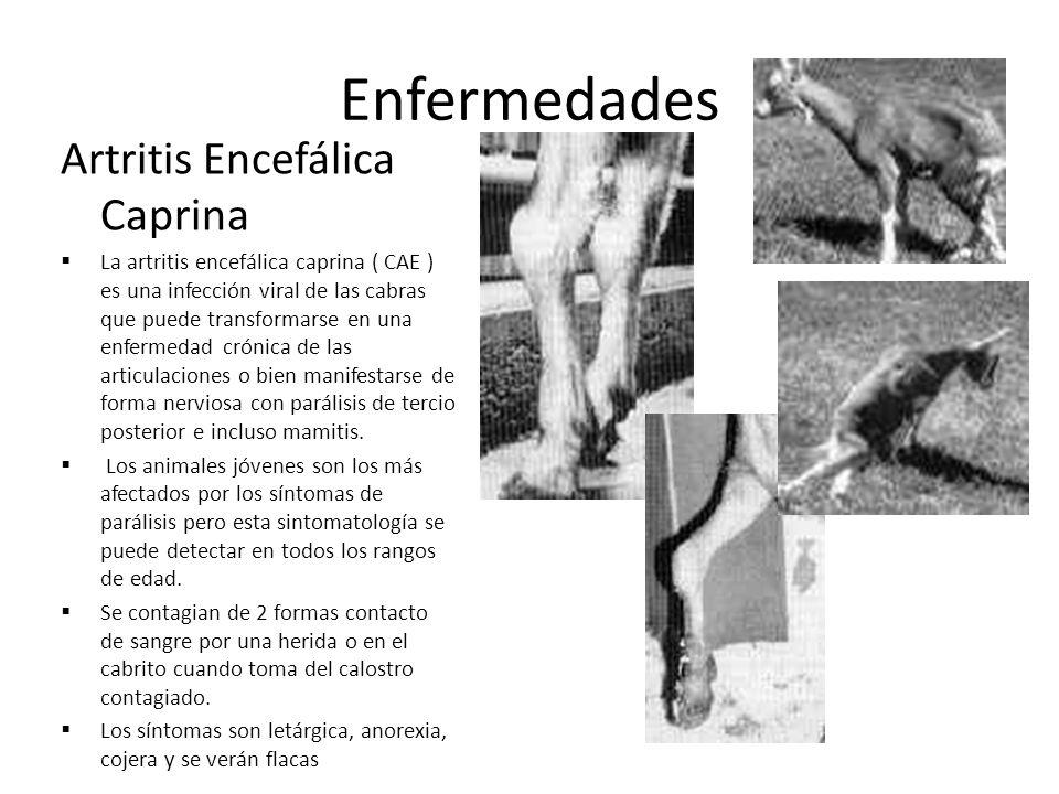 Artritis Encefálica Caprina La artritis encefálica caprina ( CAE ) es una infección viral de las cabras que puede transformarse en una enfermedad crón