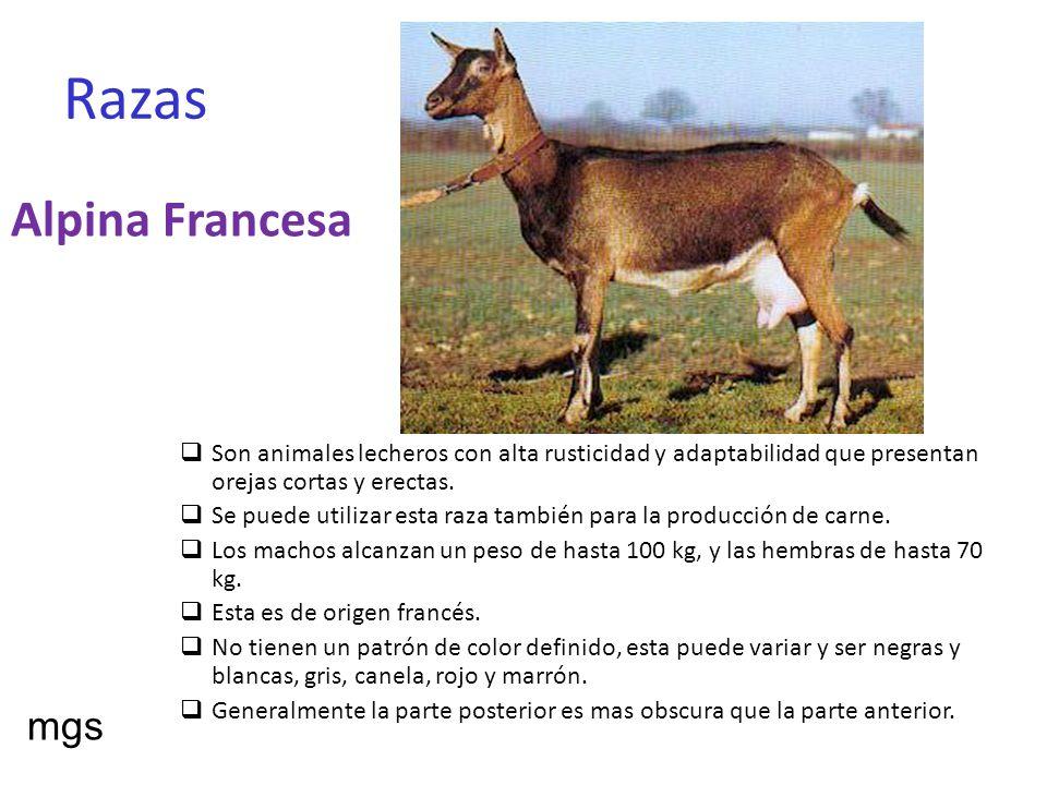 Artritis Encefálica Caprina La artritis encefálica caprina ( CAE ) es una infección viral de las cabras que puede transformarse en una enfermedad crónica de las articulaciones o bien manifestarse de forma nerviosa con parálisis de tercio posterior e incluso mamitis.