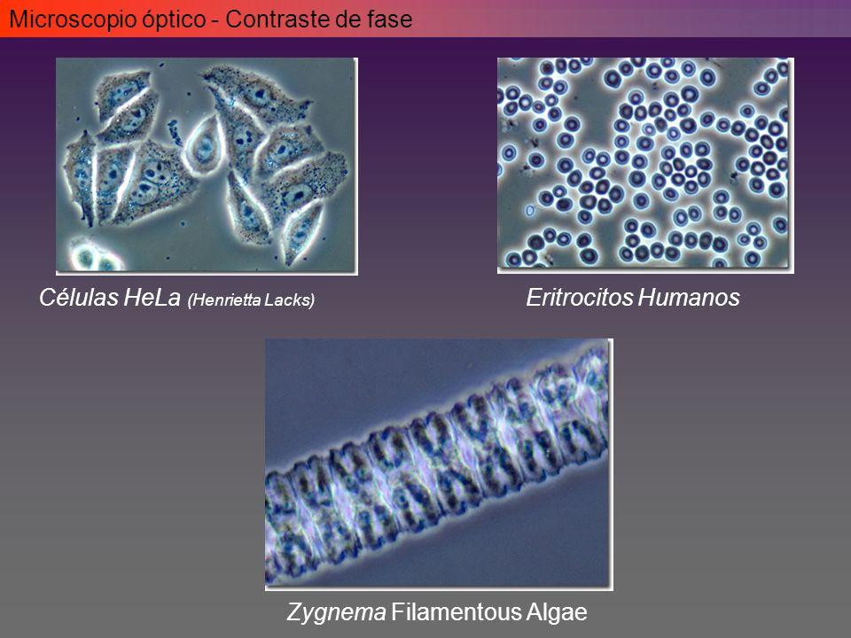 Células HeLa (Henrietta Lacks) Eritrocitos Humanos Zygnema Filamentous Algae Microscopio óptico - Contraste de fase