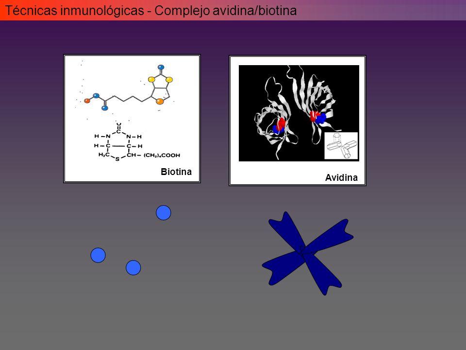 Biotina Avidina Técnicas inmunológicas - Complejo avidina/biotina