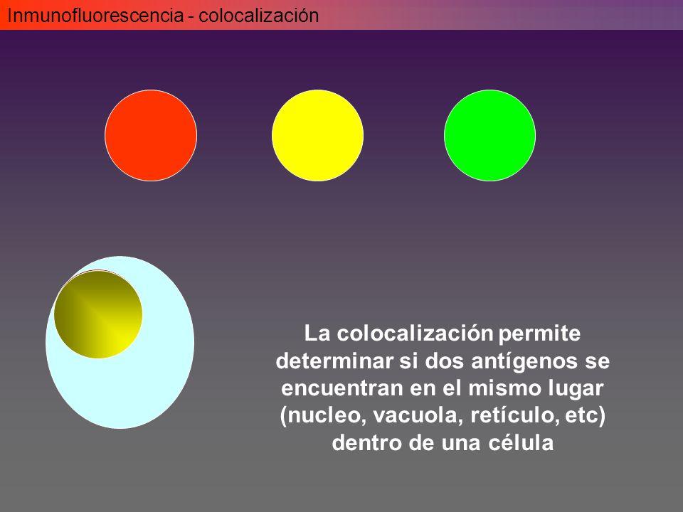Inmunofluorescencia - colocalización La colocalización permite determinar si dos antígenos se encuentran en el mismo lugar (nucleo, vacuola, retículo, etc) dentro de una célula