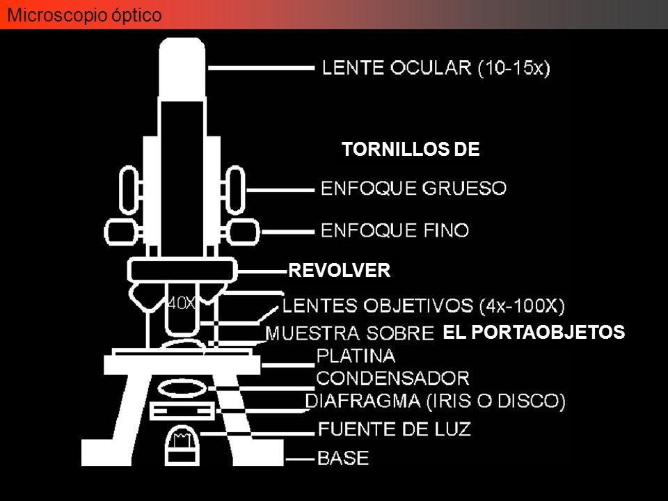 Aequoria victoria Microscopio óptico - Fluorescencia Algunos objetos fluorescentes… GFP (Green fluorescent protein)