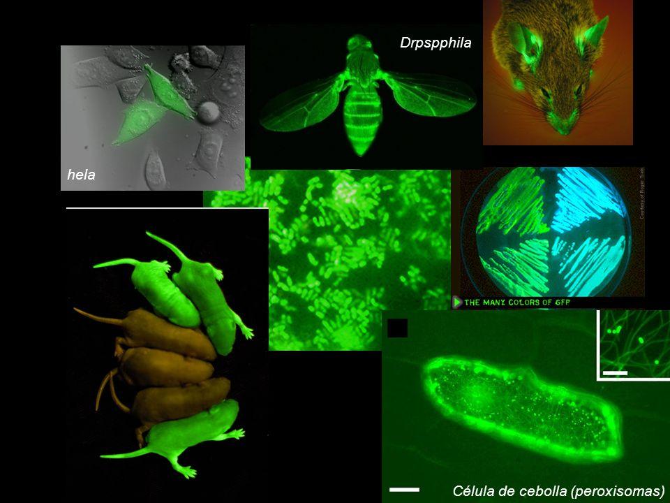 hela Drpspphila Célula de cebolla (peroxisomas)