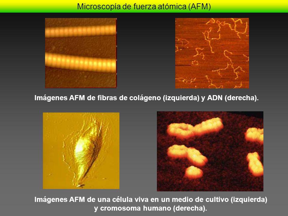 Imágenes AFM de fibras de colágeno (izquierda) y ADN (derecha). Imágenes AFM de una célula viva en un medio de cultivo (izquierda) y cromosoma humano