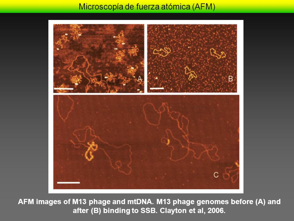 Microscopía de fuerza atómica (AFM) AFM images of M13 phage and mtDNA. M13 phage genomes before (A) and after (B) binding to SSB. Clayton et al, 2006.