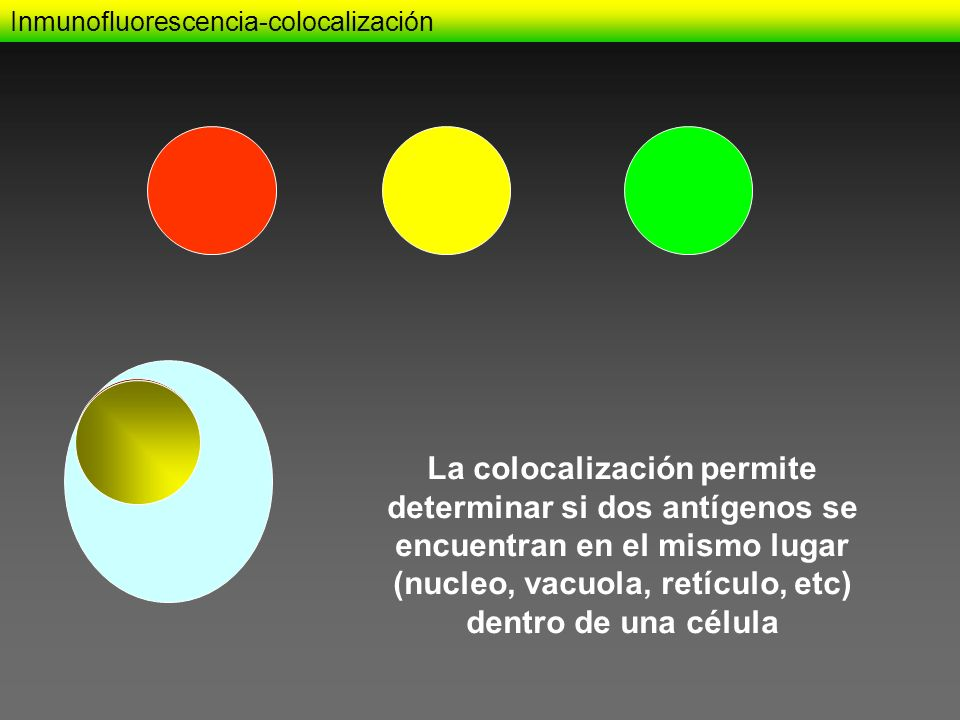 Inmunofluorescencia-colocalización La colocalización permite determinar si dos antígenos se encuentran en el mismo lugar (nucleo, vacuola, retículo, e