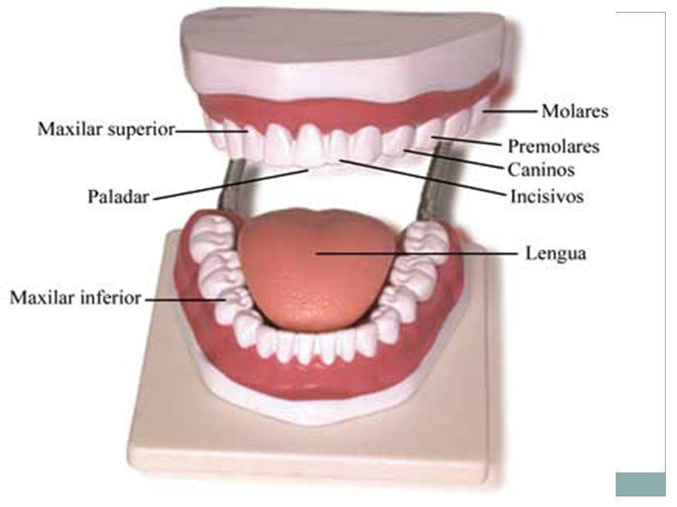 9 Los dientes tienen formas y funciones diferentes. Los incisivos, situados en el centro, son planos y cortan los alimentos; los caninos, los desgarra