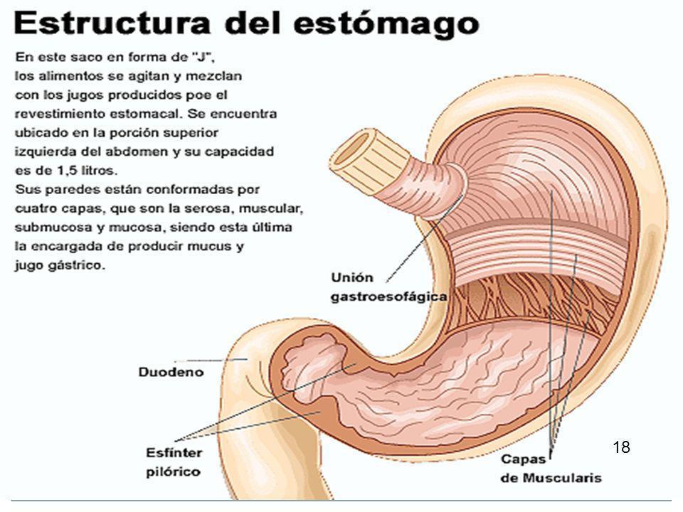 El estómago 14 El bolo alimenticio cruza la faringe, sigue por el esófago y llega al estómago, una bolsa muscular de litro y medio de capacidad, cuya