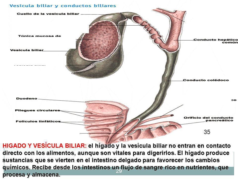 28 El hígado produce la bilis, otro jugo digestivo, que se almacena en la vesícula biliar. Cuando comemos, la bilis sale de la vesícula por las vías b