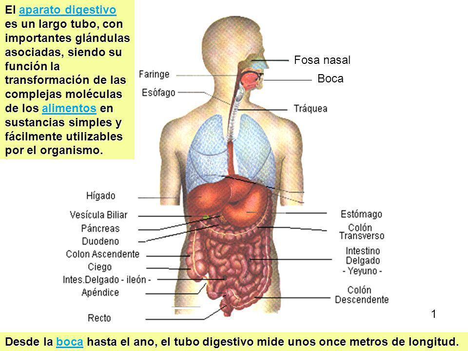 Aparato Digestivo 3 Boca Fosa nasal El aparato digestivo es un largo tubo, con importantes glándulas asociadas, siendo su función la transformación de las complejas moléculas de los alimentos en sustancias simples y fácilmente utilizables por el organismo.