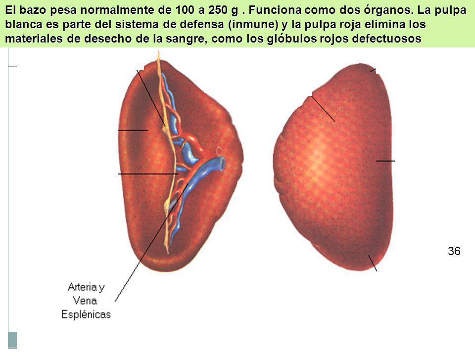 29 HIGADO Y VESÍCULA BILIAR: el hígado y la vesícula biliar no entran en contacto directo con los alimentos, aunque son vitales para digerirlos. El hí