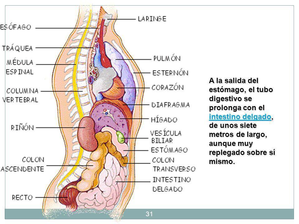 El Bazo 30 El bazo pesa normalmente de 100 a 250 g. Funciona como dos órganos. La pulpa blanca es parte del sistema de defensa (inmune) y la pulpa roj