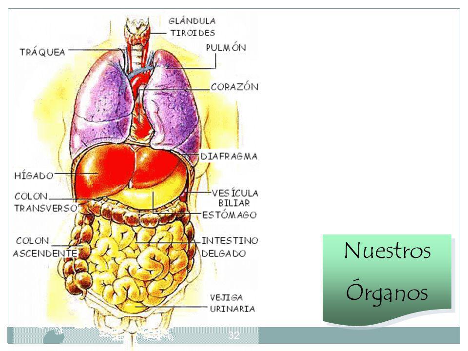 31 A la salida del estómago, el tubo digestivo se prolonga con el intestino delgado, de unos siete metros de largo, aunque muy replegado sobre sí mism