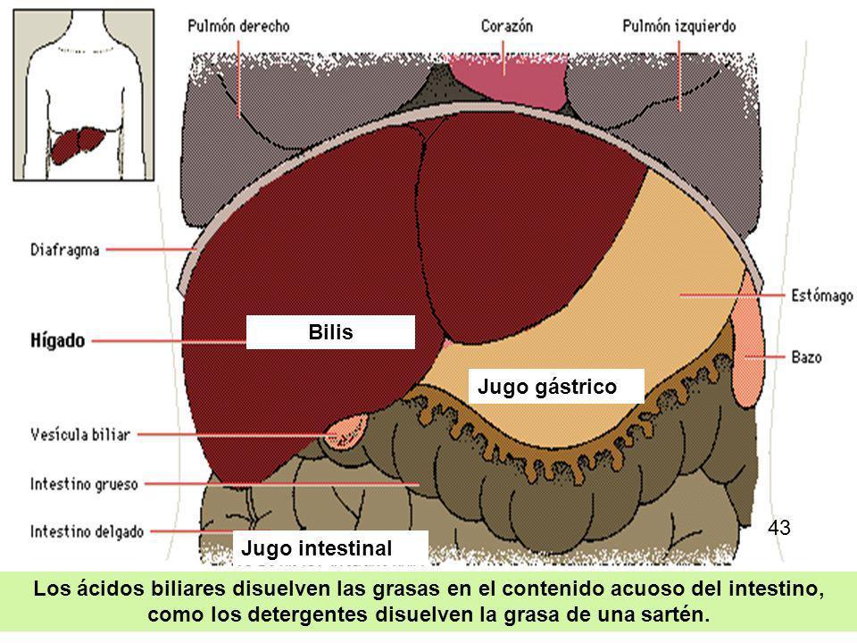33 En su primera porción o duodeno recibe secreciones de las glándulas intestinales, la bilis y los jugos del páncreas. Todas estas secreciones contie