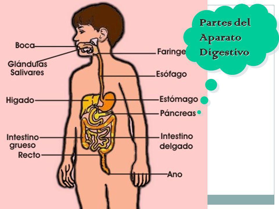 5 Partes del Aparato Digestivo