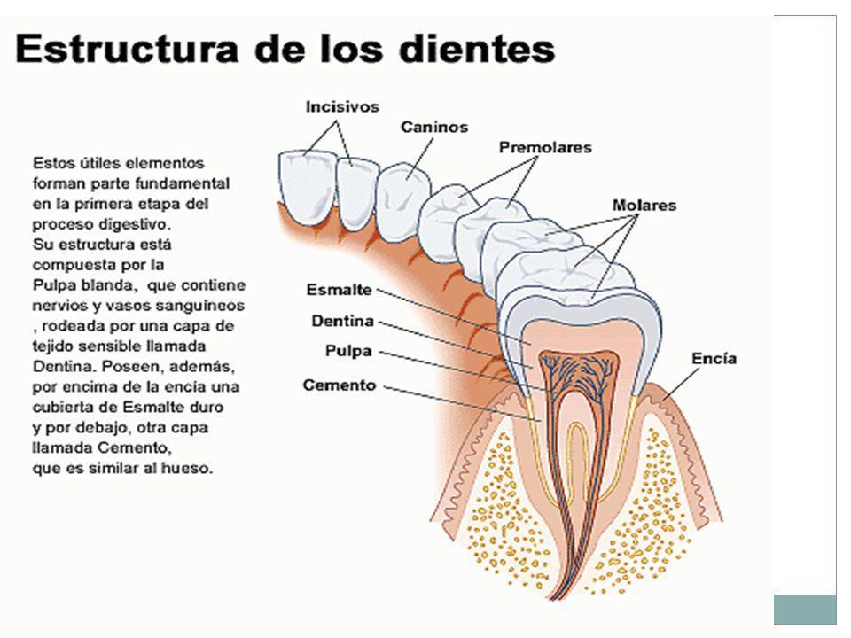 7 ¿POR QUÉ MASTICAS LOS ALIMENTOS? Masticamos los alimentos para digerirlos. En la masticación intervienen los labios, dientes, lengua, glándulas sali