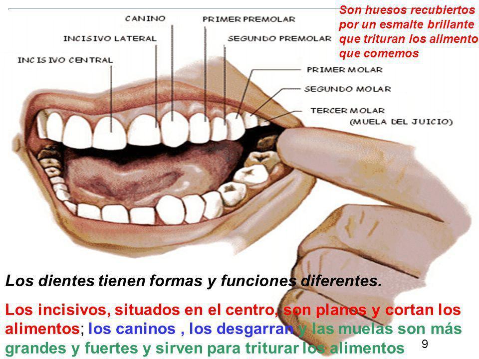 9 Los dientes tienen formas y funciones diferentes.