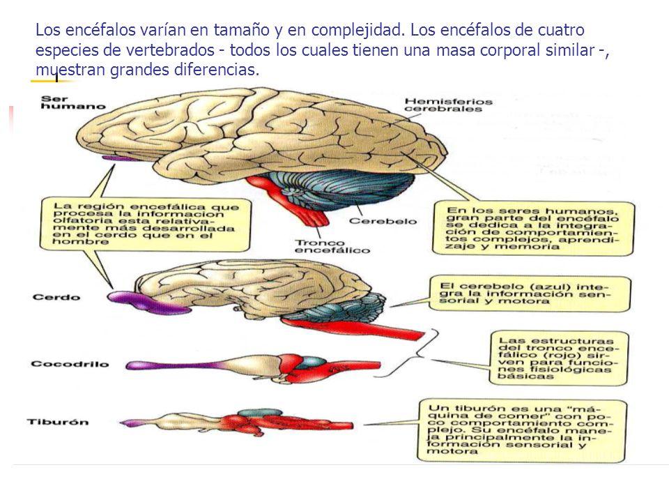 Los encéfalos varían en tamaño y en complejidad. Los encéfalos de cuatro especies de vertebrados - todos los cuales tienen una masa corporal similar -