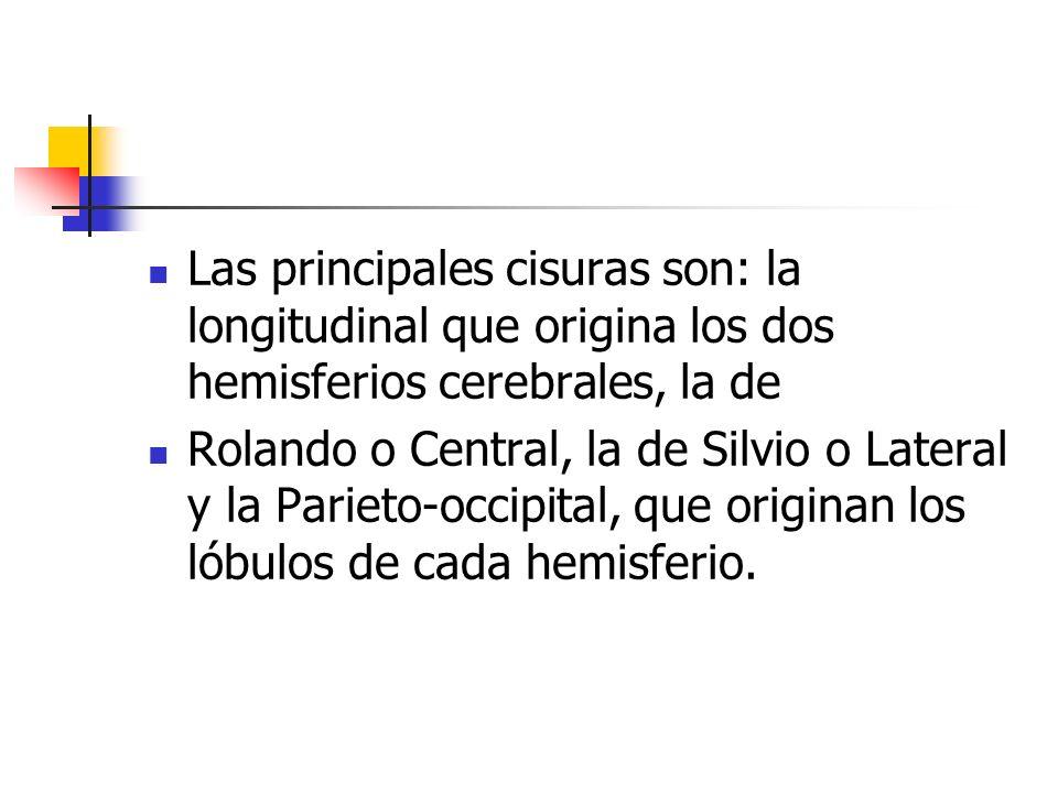 Las principales cisuras son: la longitudinal que origina los dos hemisferios cerebrales, la de Rolando o Central, la de Silvio o Lateral y la Parieto-