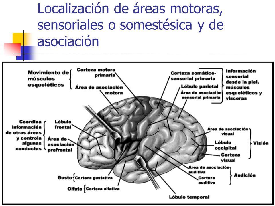 Localización de áreas motoras, sensoriales o somestésica y de asociación