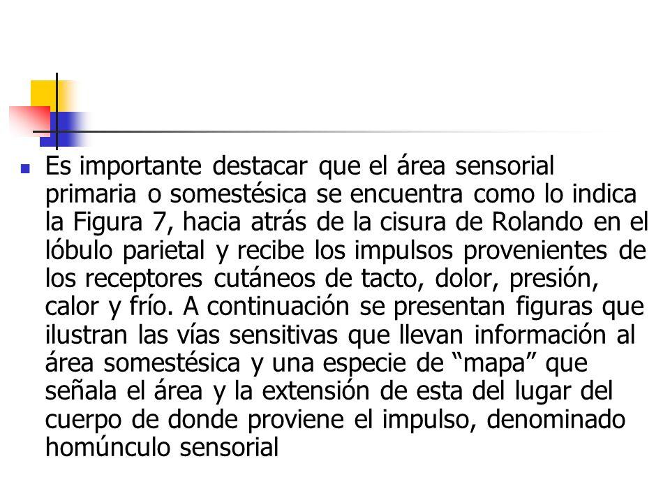Es importante destacar que el área sensorial primaria o somestésica se encuentra como lo indica la Figura 7, hacia atrás de la cisura de Rolando en el