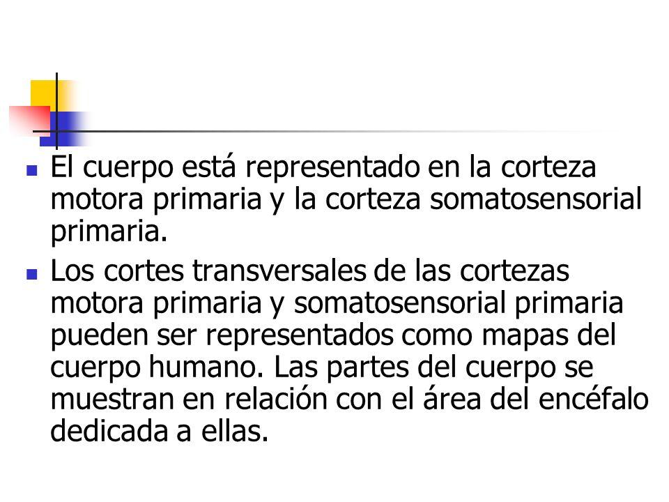 El cuerpo está representado en la corteza motora primaria y la corteza somatosensorial primaria. Los cortes transversales de las cortezas motora prima