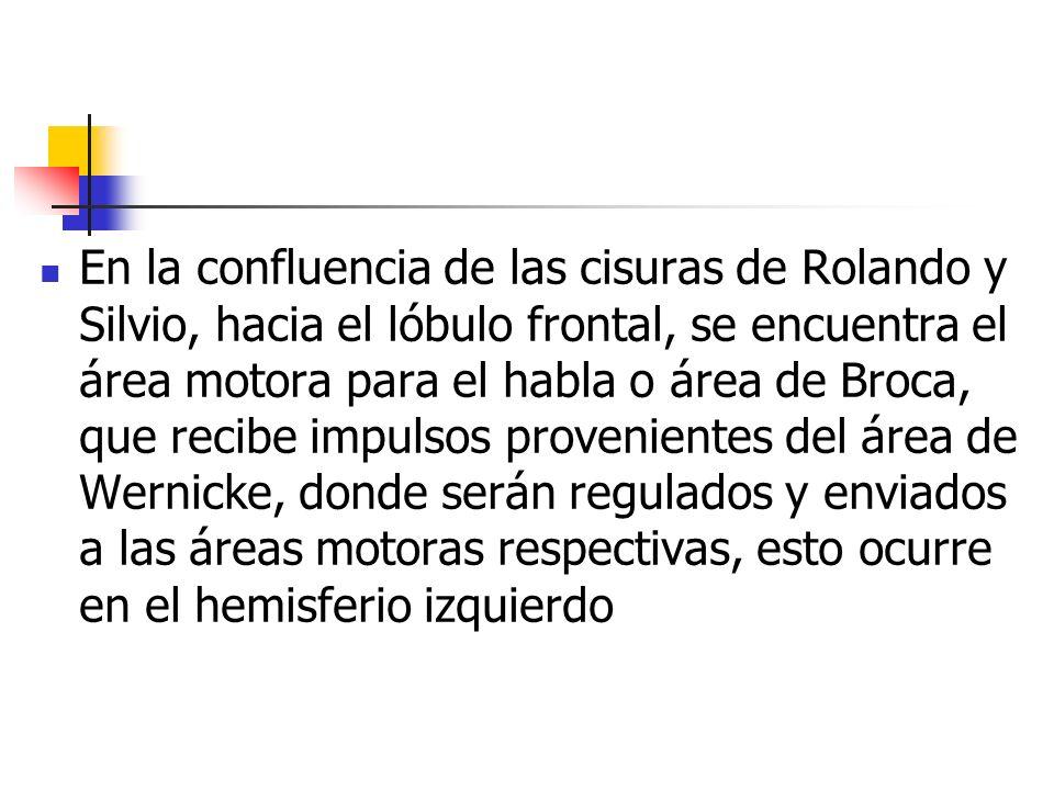 En la confluencia de las cisuras de Rolando y Silvio, hacia el lóbulo frontal, se encuentra el área motora para el habla o área de Broca, que recibe i