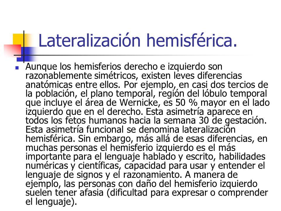 Lateralización hemisférica. Aunque los hemisferios derecho e izquierdo son razonablemente simétricos, existen leves diferencias anatómicas entre ellos