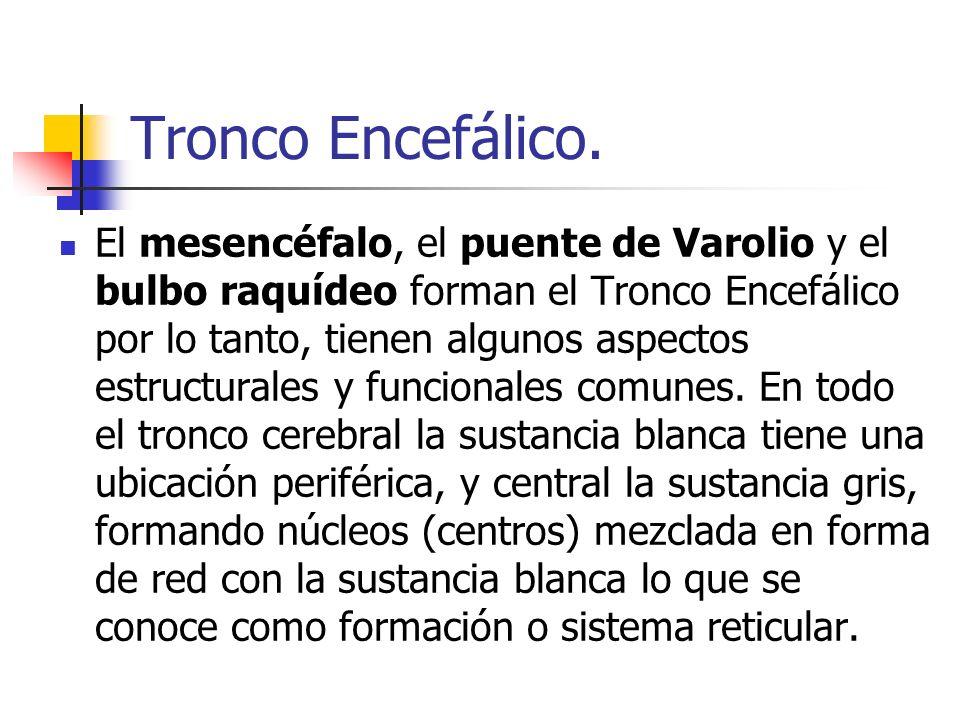 Tronco Encefálico. El mesencéfalo, el puente de Varolio y el bulbo raquídeo forman el Tronco Encefálico por lo tanto, tienen algunos aspectos estructu