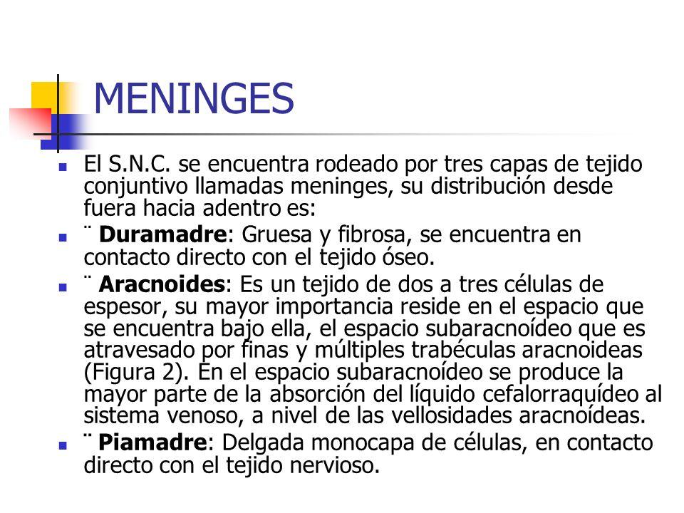 MENINGES El S.N.C. se encuentra rodeado por tres capas de tejido conjuntivo llamadas meninges, su distribución desde fuera hacia adentro es: ¨ Duramad