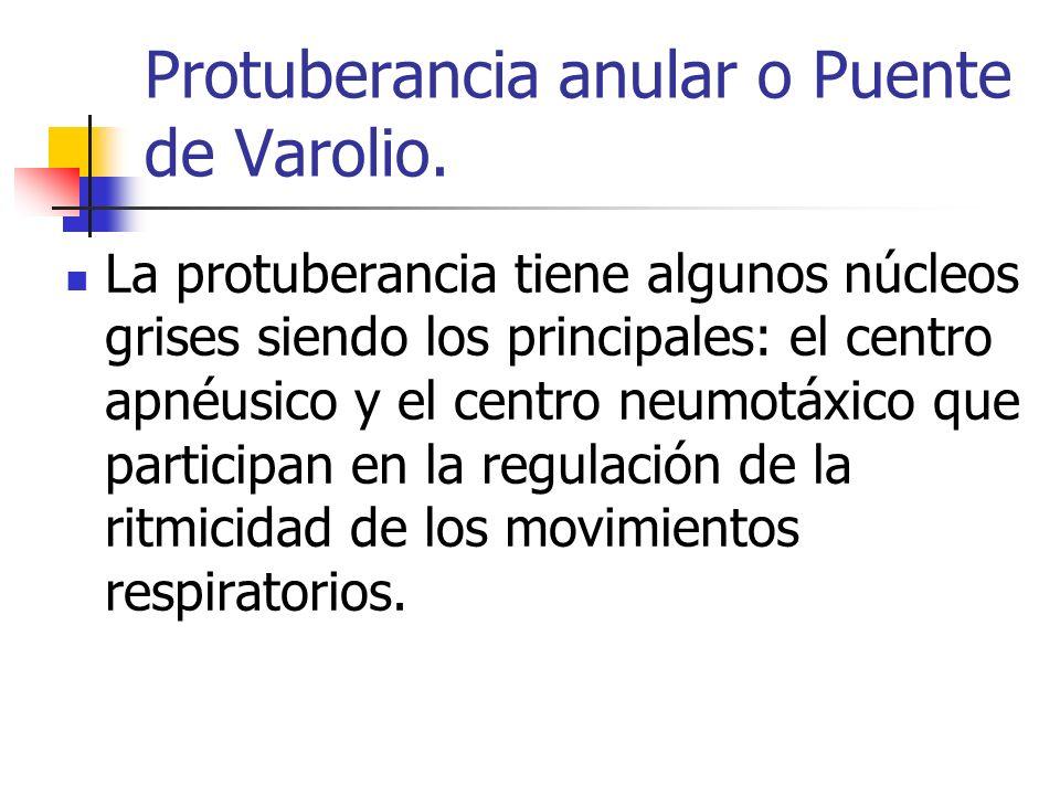 Protuberancia anular o Puente de Varolio. La protuberancia tiene algunos núcleos grises siendo los principales: el centro apnéusico y el centro neumot