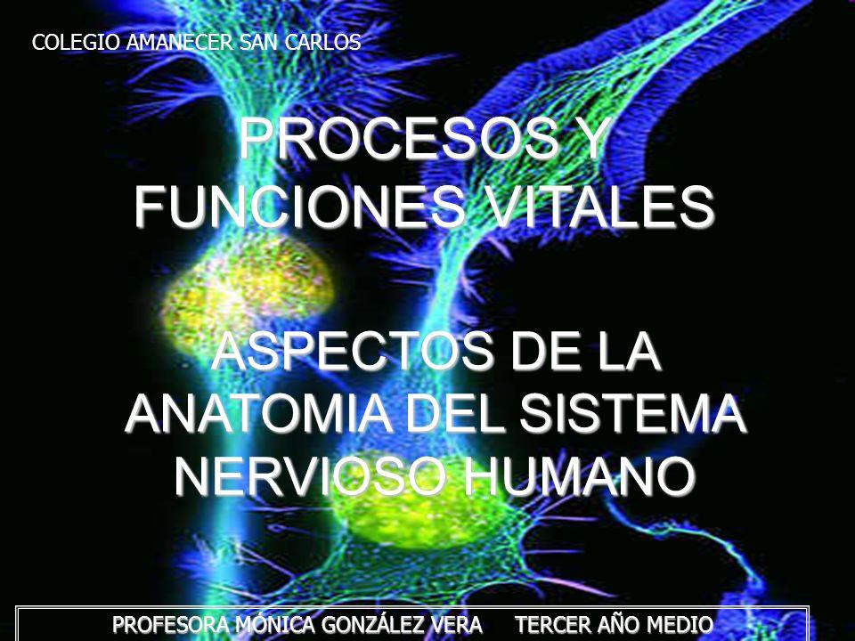 ASPECTOS DE LA ANATOMIA DEL SISTEMA NERVIOSO HUMANO El sistema nervioso integra la función de los sistemas; sensorial y muscular, a través de centros ubicados en la médula espinal y encéfalo, donde se procesan las señales provenientes del exterior e interior del organismo.