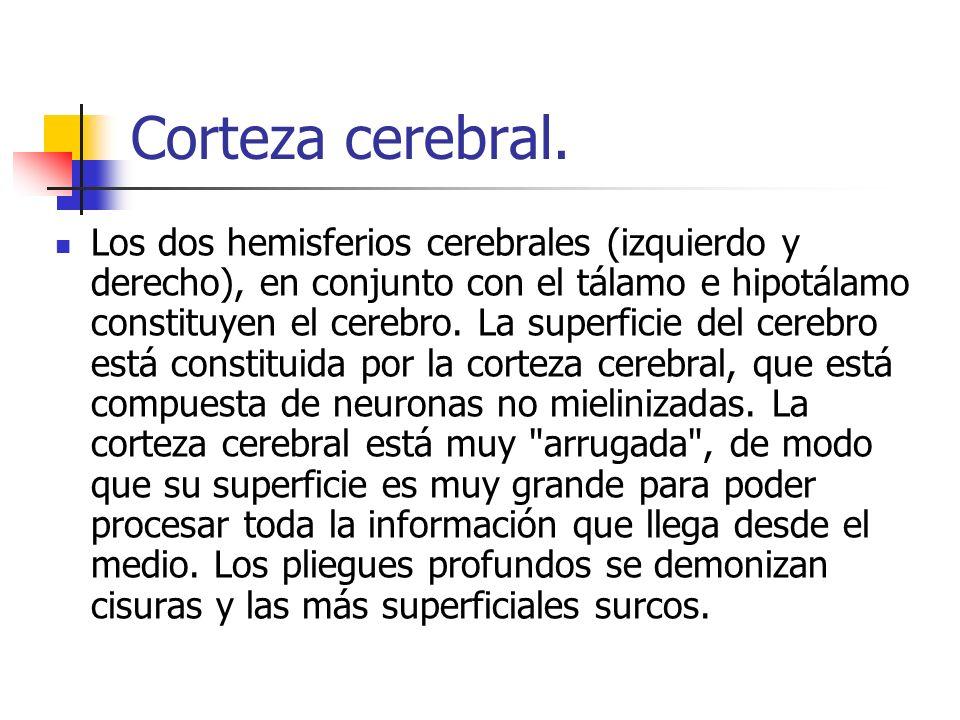 Corteza cerebral. Los dos hemisferios cerebrales (izquierdo y derecho), en conjunto con el tálamo e hipotálamo constituyen el cerebro. La superficie d
