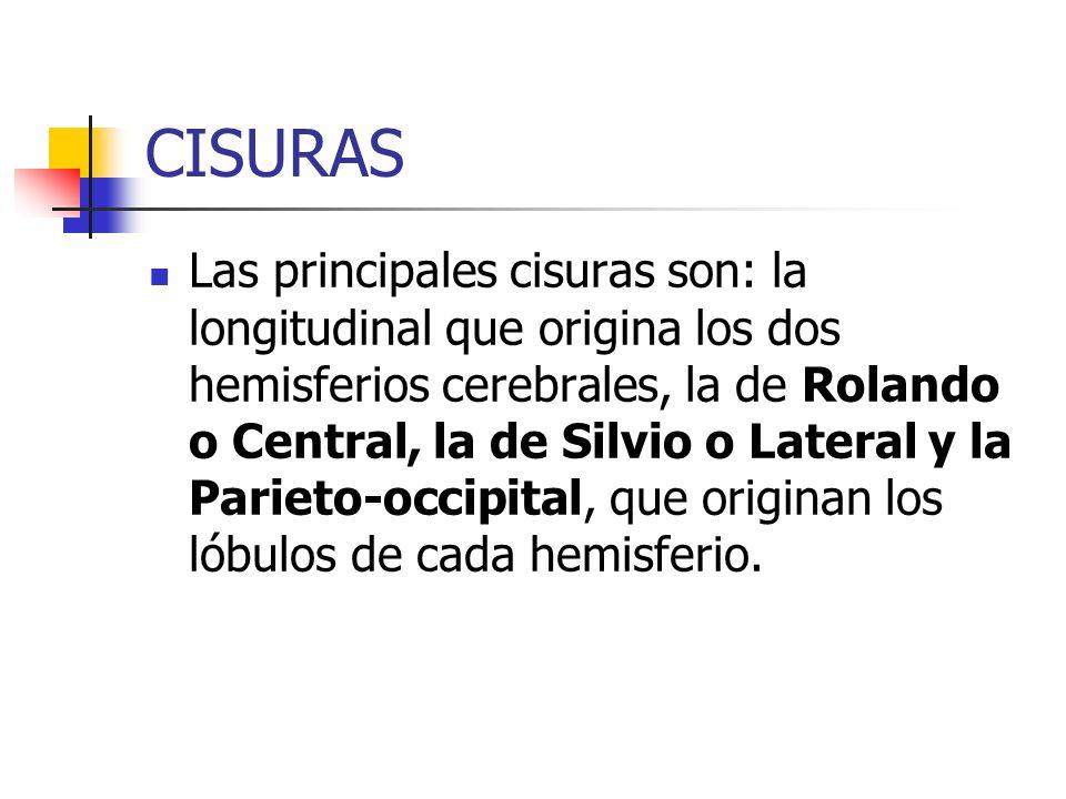 CISURAS Las principales cisuras son: la longitudinal que origina los dos hemisferios cerebrales, la de Rolando o Central, la de Silvio o Lateral y la