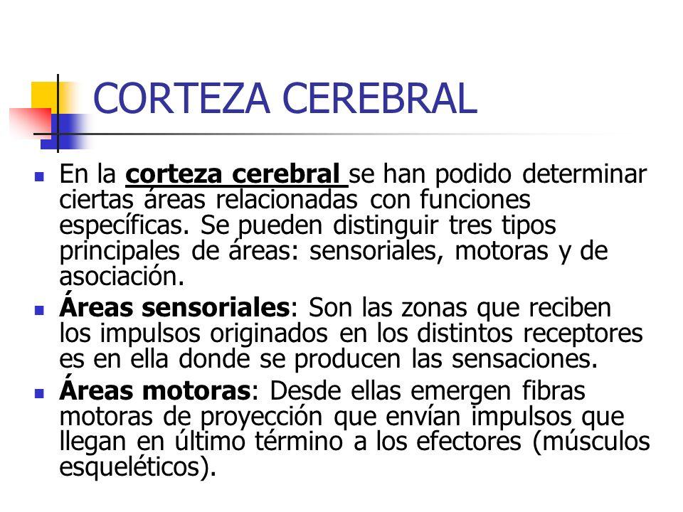 CORTEZA CEREBRAL En la corteza cerebral se han podido determinar ciertas áreas relacionadas con funciones específicas. Se pueden distinguir tres tipos