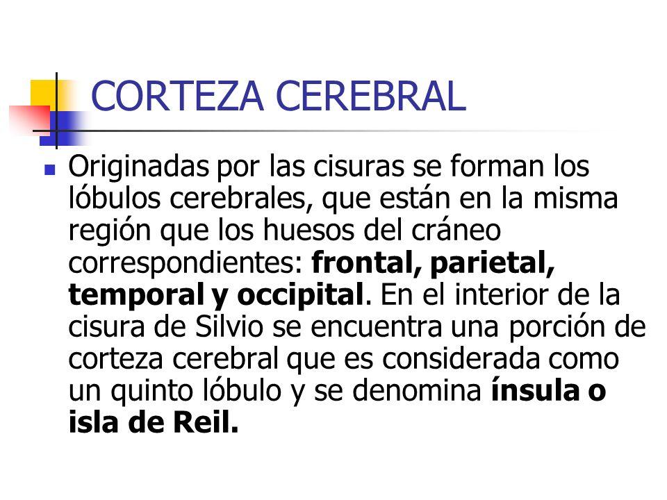 CORTEZA CEREBRAL Originadas por las cisuras se forman los lóbulos cerebrales, que están en la misma región que los huesos del cráneo correspondientes: