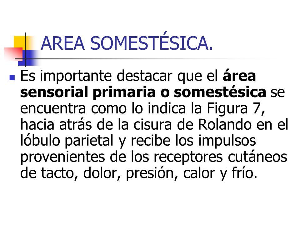 AREA SOMESTÉSICA. Es importante destacar que el área sensorial primaria o somestésica se encuentra como lo indica la Figura 7, hacia atrás de la cisur