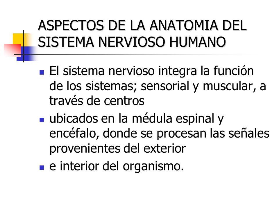 ASPECTOS DE LA ANATOMIA DEL SISTEMA NERVIOSO HUMANO El sistema nervioso integra la función de los sistemas; sensorial y muscular, a través de centros