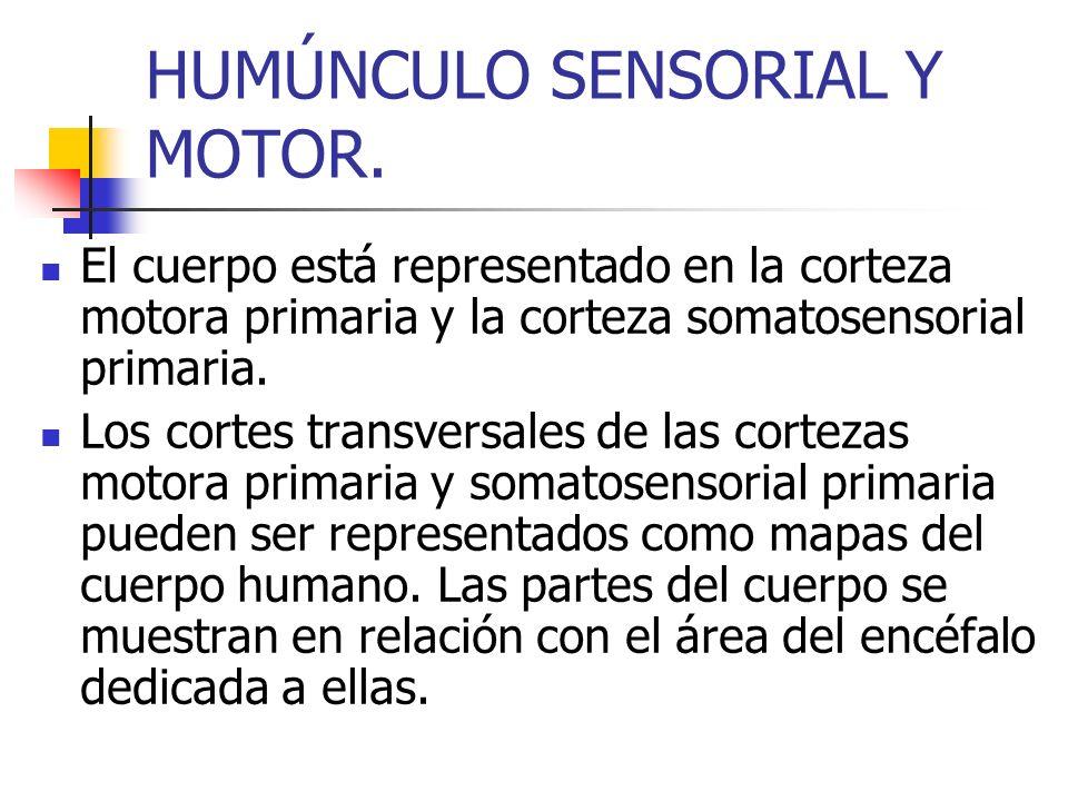 HUMÚNCULO SENSORIAL Y MOTOR. El cuerpo está representado en la corteza motora primaria y la corteza somatosensorial primaria. Los cortes transversales