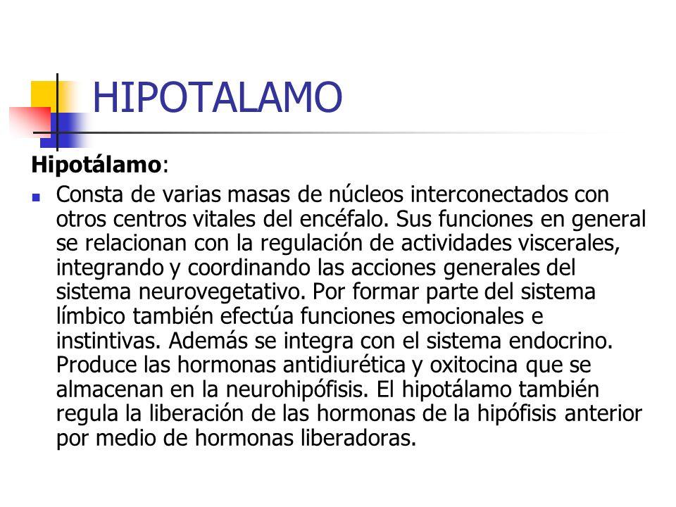 HIPOTALAMO Hipotálamo: Consta de varias masas de núcleos interconectados con otros centros vitales del encéfalo. Sus funciones en general se relaciona