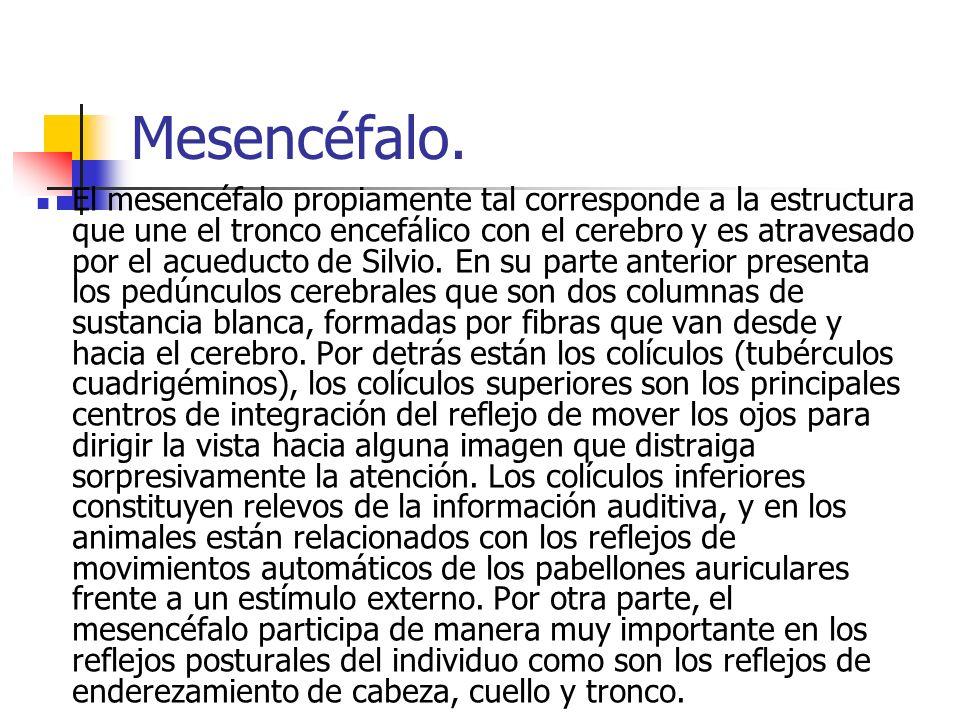 Mesencéfalo. El mesencéfalo propiamente tal corresponde a la estructura que une el tronco encefálico con el cerebro y es atravesado por el acueducto d