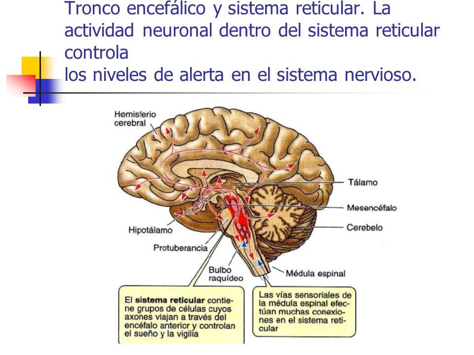 Tronco encefálico y sistema reticular. La actividad neuronal dentro del sistema reticular controla los niveles de alerta en el sistema nervioso.