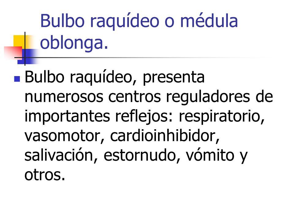 Bulbo raquídeo o médula oblonga. Bulbo raquídeo, presenta numerosos centros reguladores de importantes reflejos: respiratorio, vasomotor, cardioinhibi