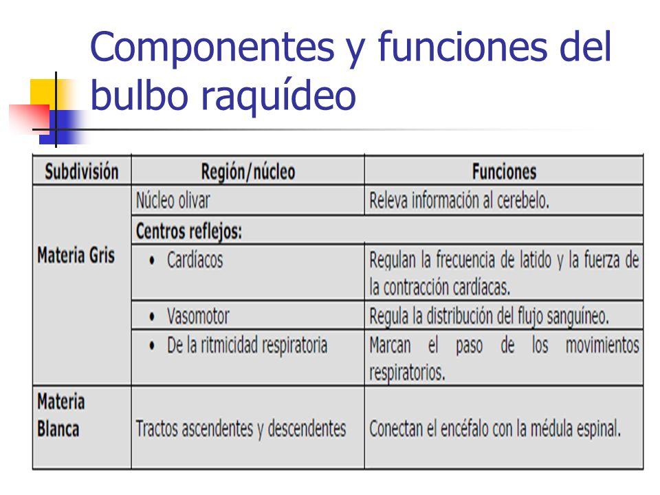 Componentes y funciones del bulbo raquídeo