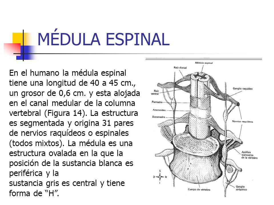 MÉDULA ESPINAL En el humano la médula espinal tiene una longitud de 40 a 45 cm., un grosor de 0,6 cm. y esta alojada en el canal medular de la columna
