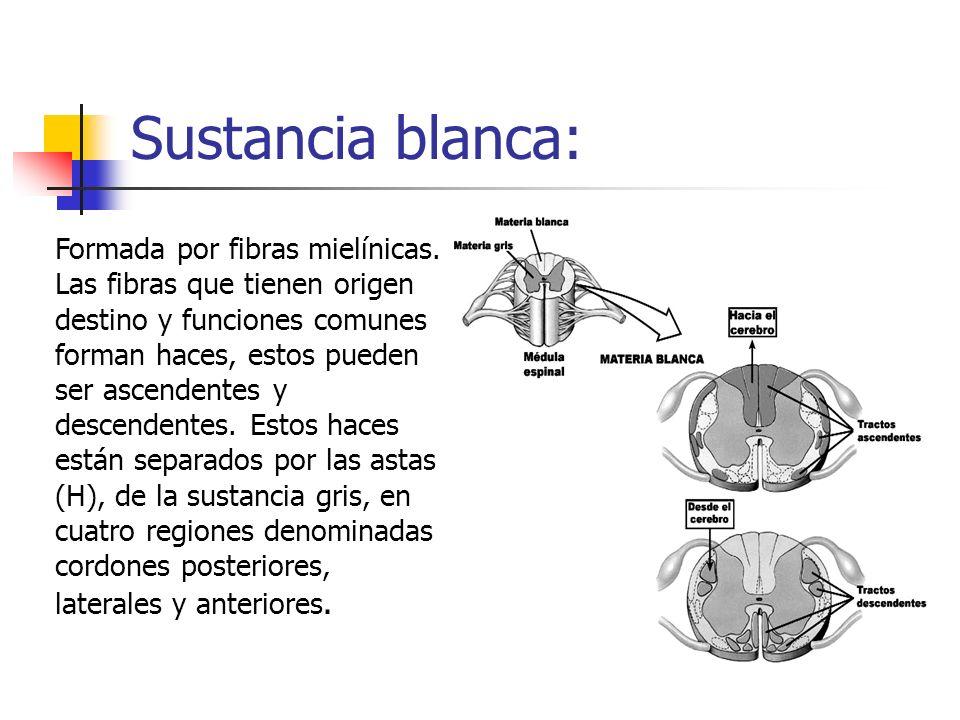 Sustancia blanca: Formada por fibras mielínicas. Las fibras que tienen origen destino y funciones comunes forman haces, estos pueden ser ascendentes y