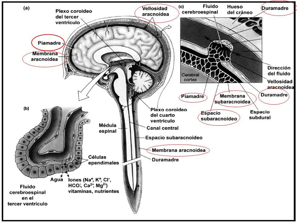 Ventrículos.El tejido nervioso está inmerso en fluido (líquido cefalorraquídeo).