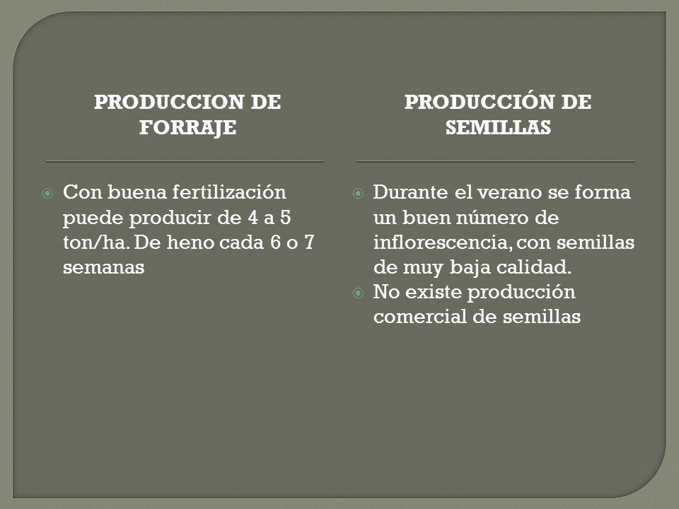 PRODUCCION DE FORRAJE PRODUCCIÓN DE SEMILLAS Con buena fertilización puede producir de 4 a 5 ton/ha. De heno cada 6 o 7 semanas Durante el verano se f