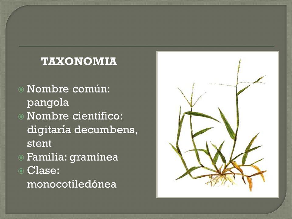 TAXONOMIA Nombre común: pangola Nombre científico: digitaría decumbens, stent Familia: gramínea Clase: monocotiledónea