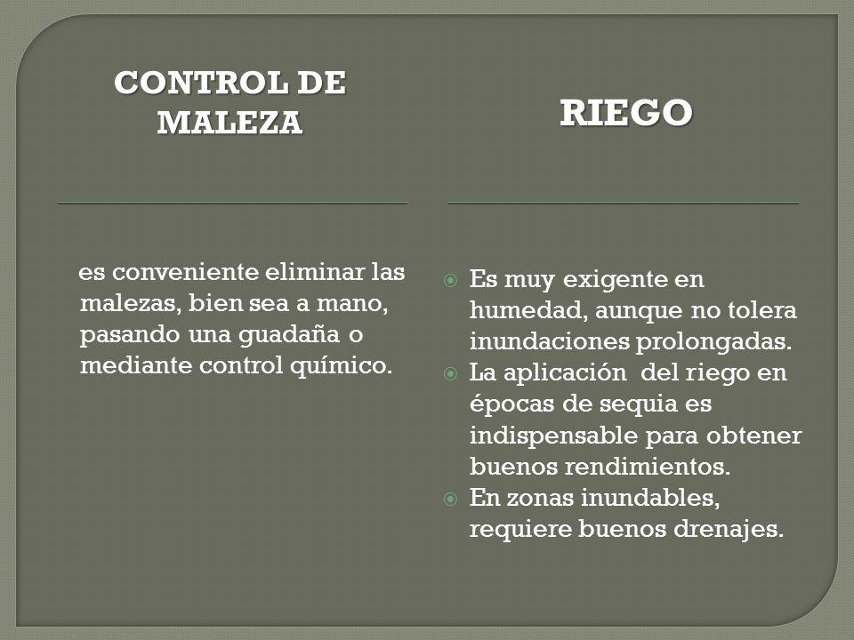 CONTROL DE MALEZA RIEGO es conveniente eliminar las malezas, bien sea a mano, pasando una guadaña o mediante control químico. Es muy exigente en humed